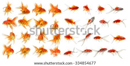 set of gold fish Isolation on the white background - stock photo