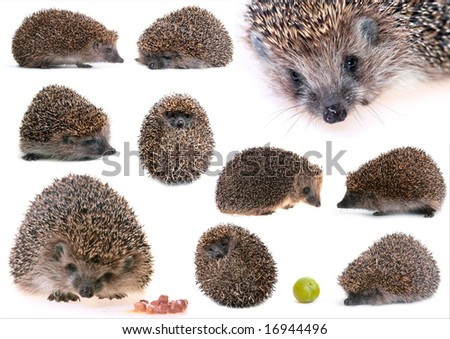 set of hedgehogs - stock photo