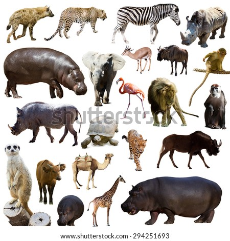 Set of hippopotamus  and other African animals. Isolated over white - stock photo