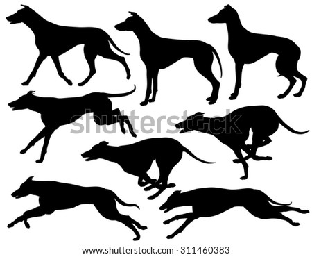 Set of illustrated silhouettes of greyhound dogs running, standing and trotting - stock photo