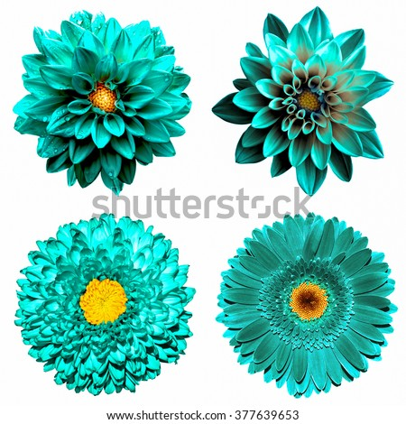 Set of 4 in 1 surreal turquoise flowers: chrysanthemum, gerbera and dahila flowers isolated on white - stock photo