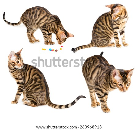 Set of kitten breed toyger isolated on white background. - stock photo