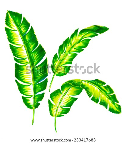 set of large detailed vintage banana palm leaves illustration, isolated on white.  - stock photo