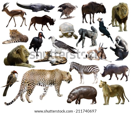 Set of  leopard and other African animals. Isolated over white background - stock photo