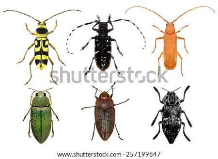 Set of long-horn beetles and jewel beetles (metallic wood-boring beetles) isolated on a white background - stock photo