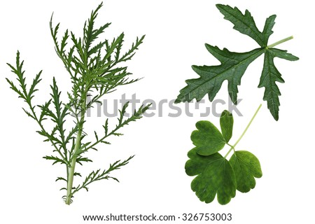 Set of  Musk Mallow Malva moschata, wild,  leaves isolated on white background - stock photo