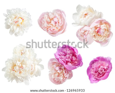 Set of peonies flower isolated on white background - stock photo