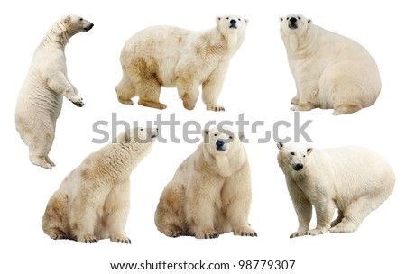 Set of polar bears. Isolated over white background - stock photo