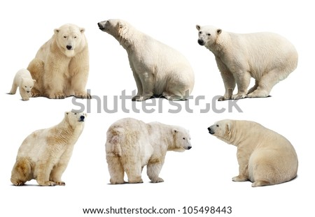 Set of polar bears. Isolated over white background with shade - stock photo