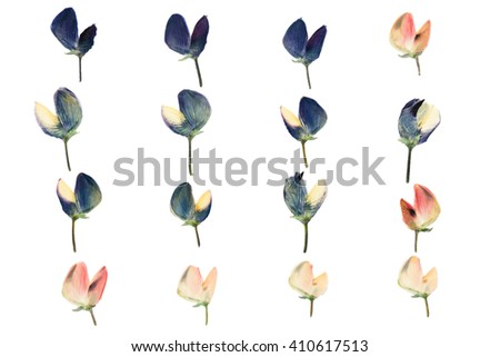 Set of pressed and dried blue pink flowers lupine isolated on white background. - stock photo