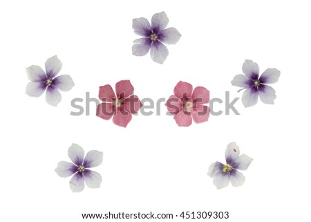 Set of pressed and dried flowers blue, pink phlox, isolated on white background. For use in scrapbooking, floristry (oshibana) or herbarium. - stock photo