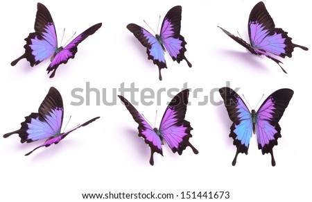 Set of Purple butterfly, Papilio Ulysses, isolated on white background - stock photo