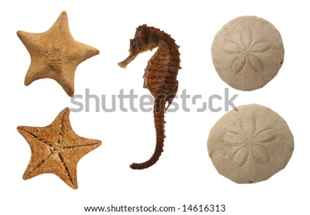 Set of sea animals isolated on white: goose foot starfish, sea horse and sand dollar - stock photo