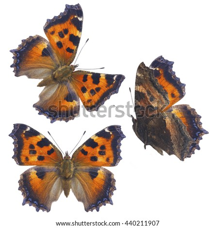 set of small tortoiseshell butterfly isolated on white background - stock photo
