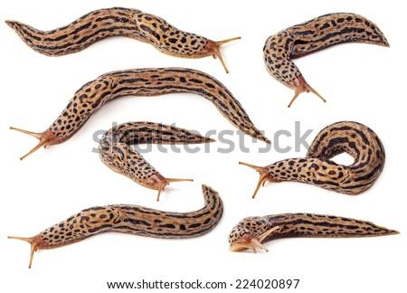 Set of spotted slugs isolated on white background - stock photo
