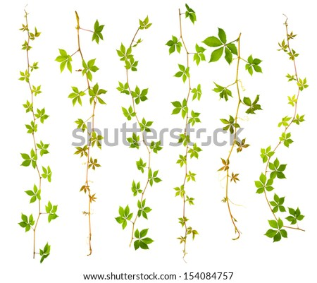 set of sprigs of wild grape with green leaves on a white background - stock photo