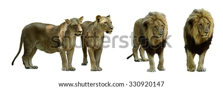 Set of standing lions. Isolated on white background - stock photo