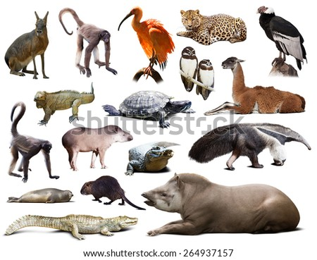 Set of  tapir, mara and other animals of South America over white background - stock photo