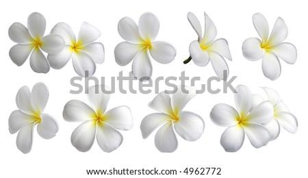 Set of ten frangipanis flowers on white background - stock photo