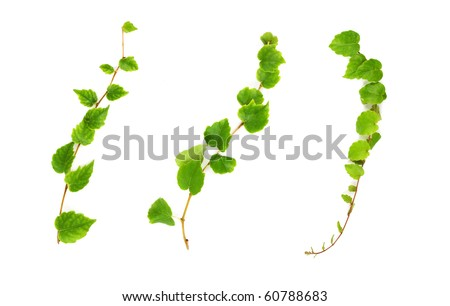 Set of three creeper branches. - stock photo