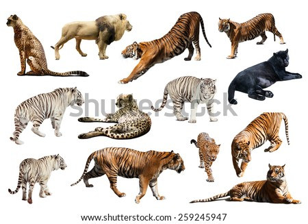 Set of  tiger and other big wildcats. Isolated over white  - stock photo