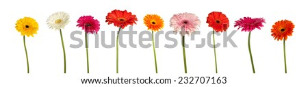 Set of transvaal daisies (gerberas) isolated over white background, shot separately - stock photo