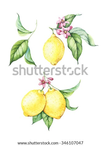 Set of watercolor fresh yellow lemons with green leaves and pink flowers. Hand drawn watercolor elements for your design. Isolated on white. Clipart.  - stock photo