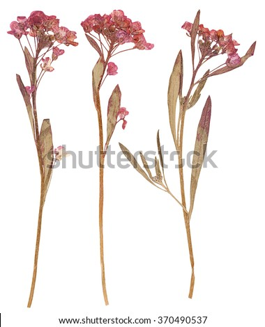 Set of wild dry flat pressed flowers, isolated - stock photo