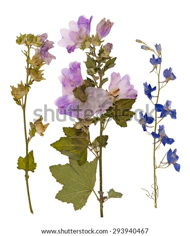 Set of wild dry pressed flowers and leaves, isolated - stock photo