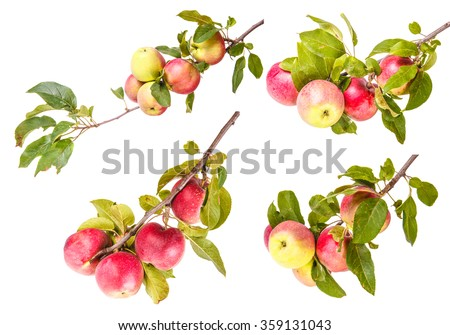 Set ripe apples on a branch isolated on white background - stock photo