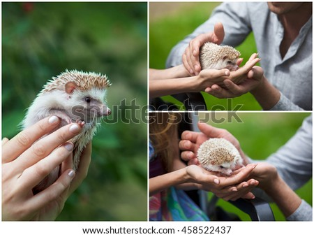 Set. small prickly hedgehog in the hands of people - stock photo