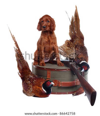 Setter puppy, suitcase, shotgun and two pheasants on the white background, studio - stock photo