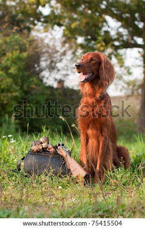 setter with troph - stock photo
