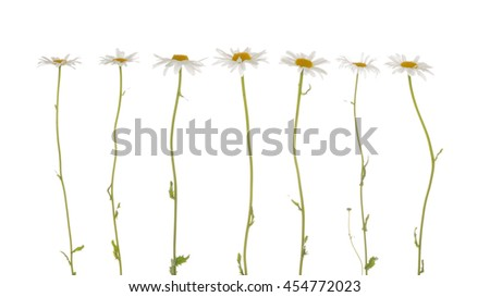 seven beautiful flowers field of daisies with white delicate petals and bright yellow center on a thin green stems on a white background isolation - stock photo