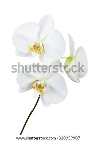 Seven day old orchid isolated on white background. Closeup. - stock photo