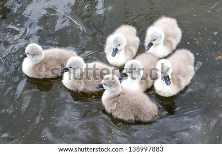 seven little cygnets huddle together in the lake - stock photo