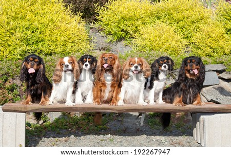 Seven nice dogs of Cavalier King Charles spaniel - stock photo
