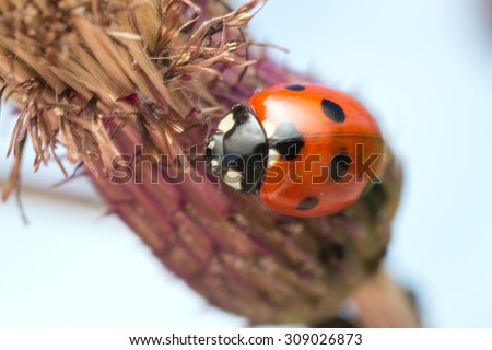 Seven spot Ladybug, Coccinella septempunctata on thistle - stock photo