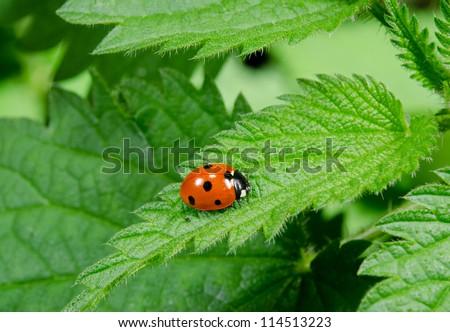 seven spotted ladybird portrait on stinging nettle - stock photo