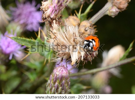 seven spotted ladybird, thistle - stock photo
