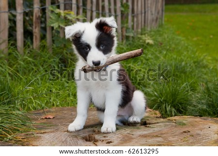 Seven weeks old border collie puppy dog in green meadow grass - stock photo