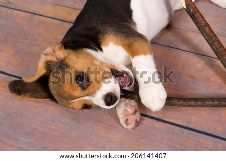 Seven weeks old cute little beagle puppy chewing on a stick - stock photo