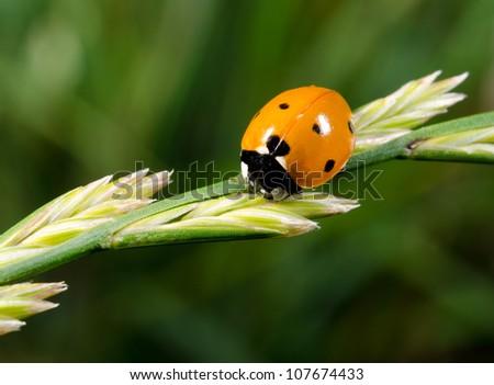 sevenspotted-ladybird - stock photo