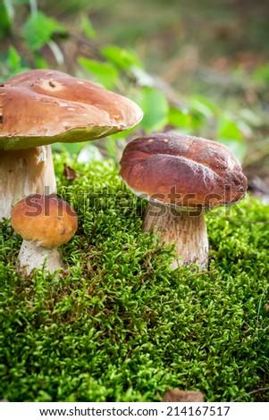 Several boletus mushroom in forest - stock photo