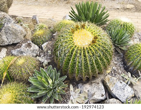 Several cactus species - basking crown (melocactus bahiensis), Plant-pearl (paraguayense Graptopetalum) and other   - stock photo