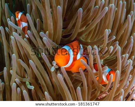 Several Clownfish in their home anemone - stock photo