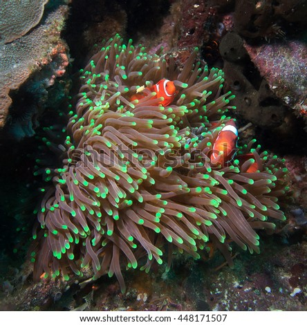 Several clownfish in their nest on a tropical coral reef - stock photo
