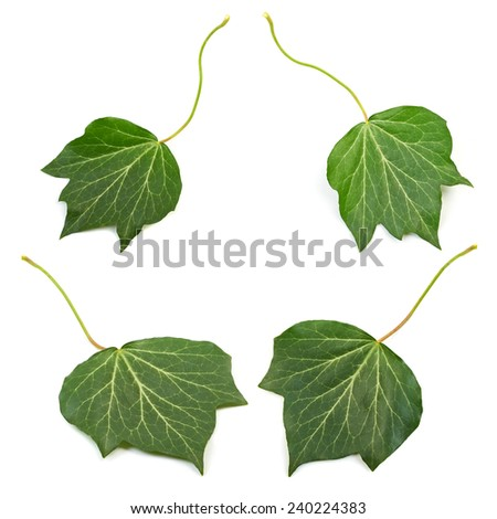 Several groups  four bright green ivy leaves isolated on white background. - stock photo