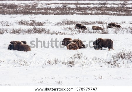 Several musk oxen rest in the snow, not cold at all - stock photo