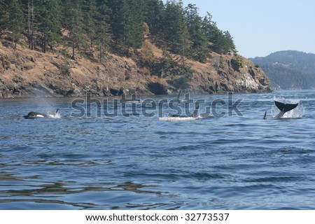 Several Orca from resident pod playing near san juan islands - stock photo